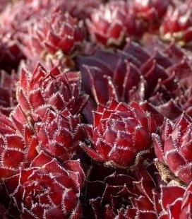 Sempervivum tectorum 'Rubin', Молодило кровельное 'Рубин'
