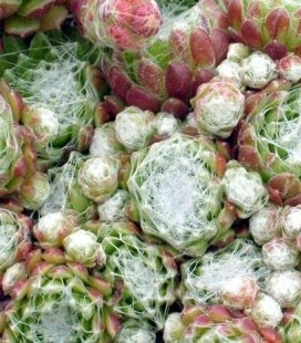 Sempervivum arachnoideum 'Silberring', Молодило павутинисте 'Зілберрінг'