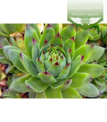 Sempervivum tectorum Молодило кровельное