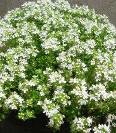 Thymus serphyllum 'Albus', Тимьян ползучий 'Альбус'