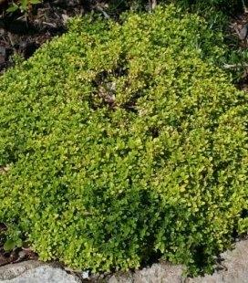 Thymus citrodorus 'Bertram Anderson', Тимьян лимонный 'Бертрам Андерсон'