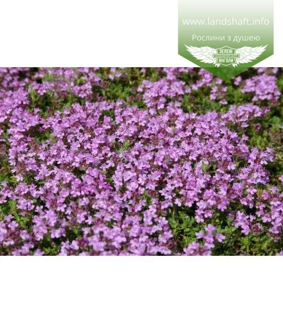 Thymus doerfleri Тимьян (Чебрец) Дорфлера