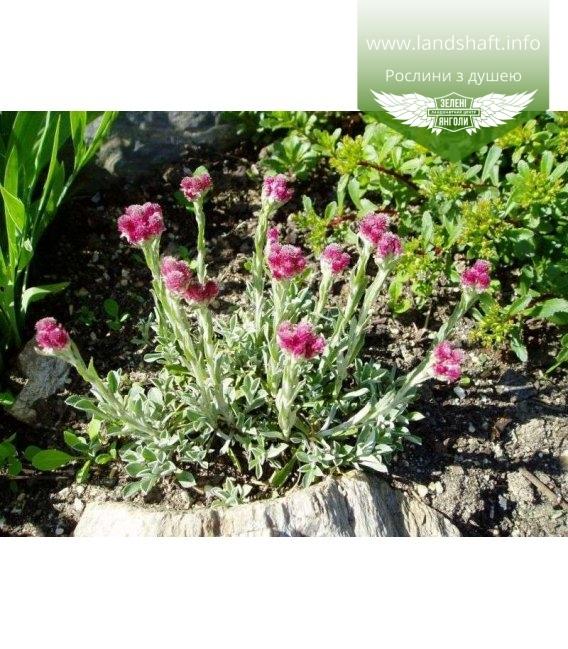 Antennaria dioica 'Roy Davidson', Котячі лапки дводомні 'Рой Девідсон'