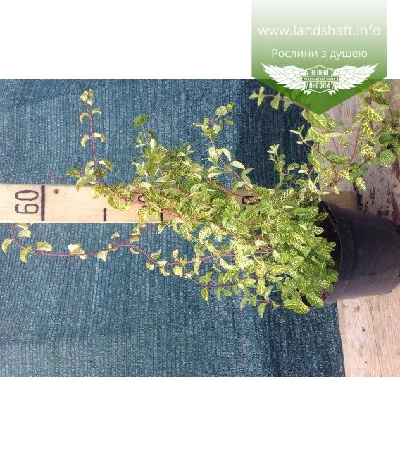 Lonicera japonica 'Aureoreticulata', Жимолость японська 'Ауреоретікулата'