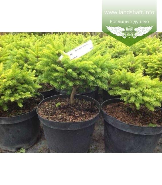 Picea abies 'Oldenburg', Ялина звичайна 'Ольденбург'