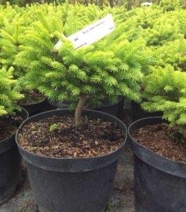 Picea abies 'Oldenburg' Ель европейская