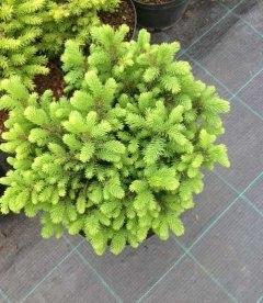 Picea omorika 'Karel' Ель сербская