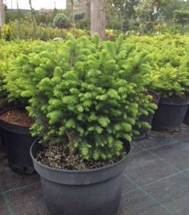Picea omorika 'Karel', Ель сербская 'Карел'