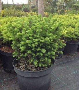 Picea omorika 'Karel', Ялина сербська 'Карел'