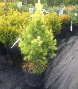 Picea glauca 'Daisy's White' Ялина біла (канадська)
