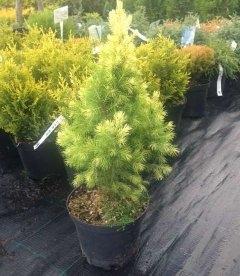 Picea glauca 'Daisy's White' Ель канадская