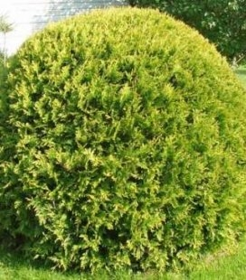 Thuja occidentalis 'Kobold', Туя західна 'Коболд'