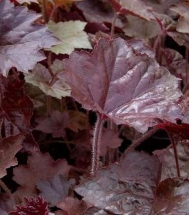 Heuchera micrantha 'Palace Purple', Гейхера дрібноцвітна 'Палас Пьорпл'