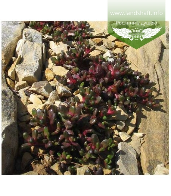 Delosperma alpinum, Делосперма альпійська
