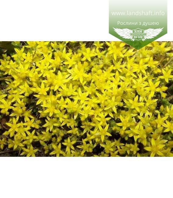 Sedum acre 'Yellow Queen', Очиток їдкий 'Єллоу Квін'