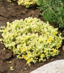 Sedum acre 'Yellow Queen', Очиток едкий 'Еллоу Квин'