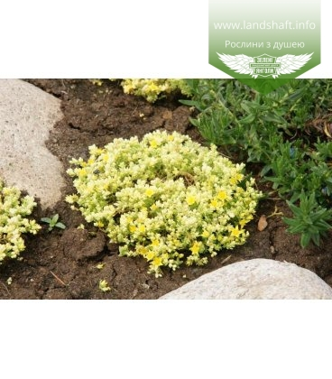 Sedum acre 'Yellow Queen' Очиток едкий