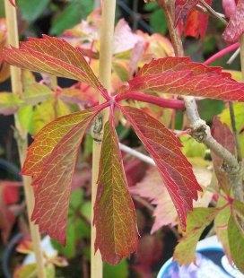 Parthenocissus quinquefolia Девичий виноград пятилистый
