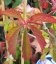 Parthenocissus quinquefolia, Девичий виноград пятилисточковый