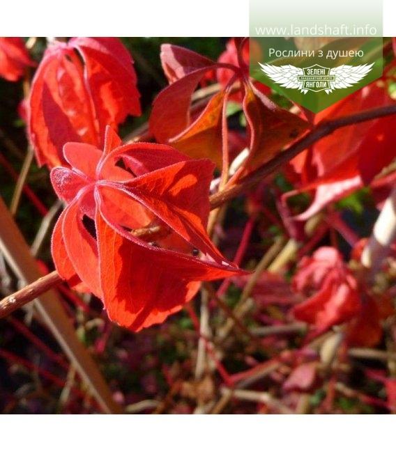 Parthenocissus quinquefolia, Дівочий виноград п'ятилисточковий