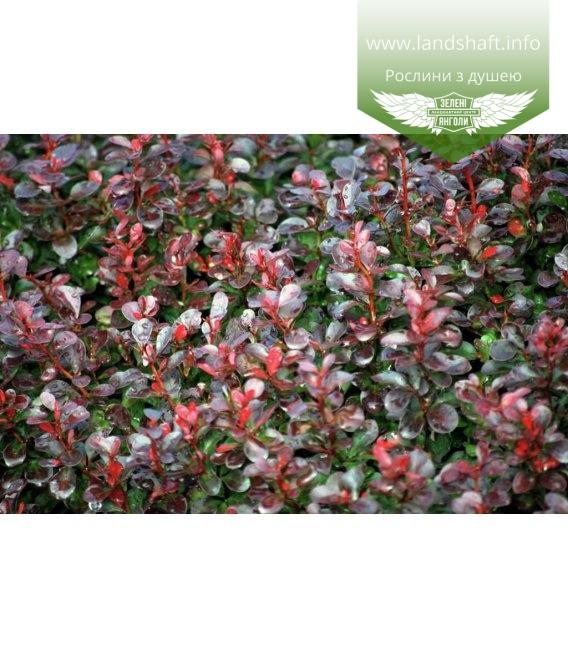 Berberis thunbergii 'Atropurpurea Nana', Барбарис Тунберга 'Атропурпуреа Нана'