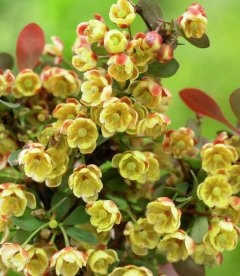 Berberis thunbergii 'Atropurpurea Nana' Барбарис Тунберга