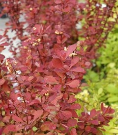 Berberis thunbergii 'Red Carpet', Барбарис Тунберга 'Ред Карпет'