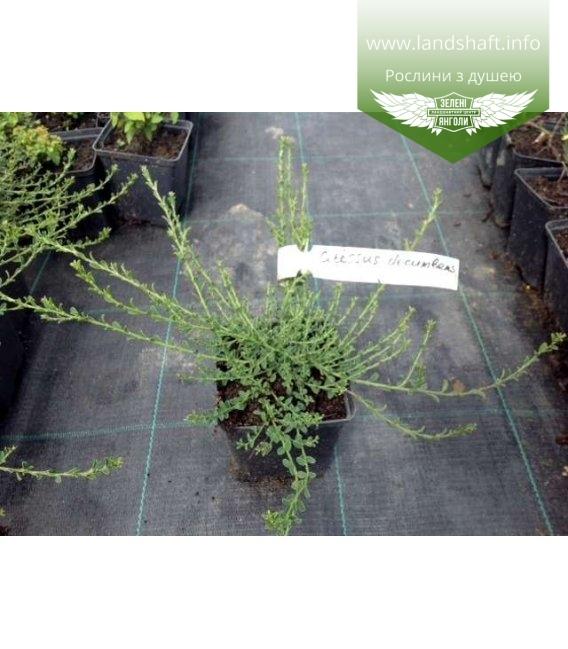 Cytisus decumbens Ракитник стелющийся