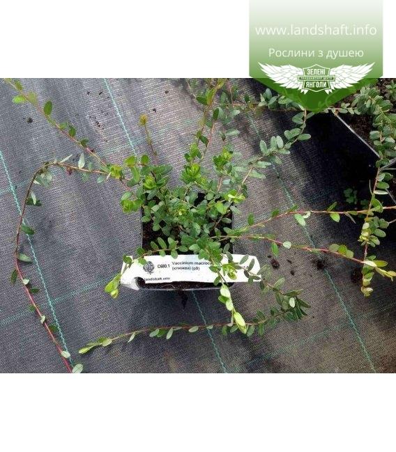 Vaccinium macrocarpon 'Pilgrim', Журавлина крупноплідна 'Пілгрім'