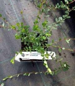Vaccinium macrocarpon Клюква крупноплодная
