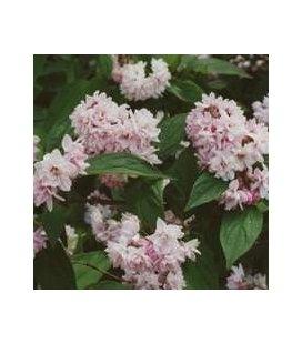 Deutzia x hybrida 'Pink Pom-Pom(Rosea Pleana)' Дейція гібридна