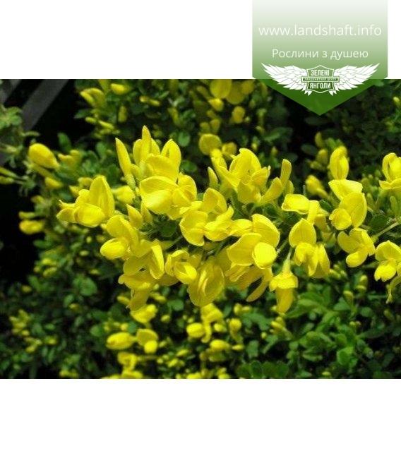 Cytisus decumbens, Рокитник сланкий
