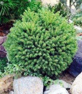 Picea abies 'Oldenburg', Ель обыкновенная 'Олденбург'