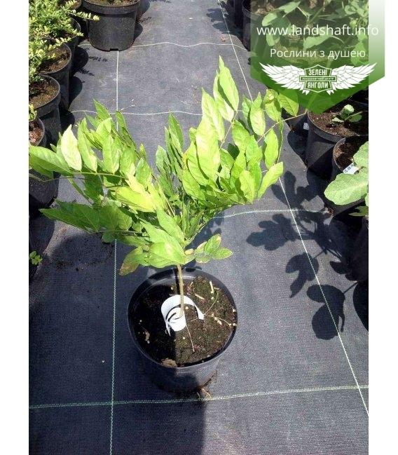 Wisteria sinensis, Гліцинія китайська