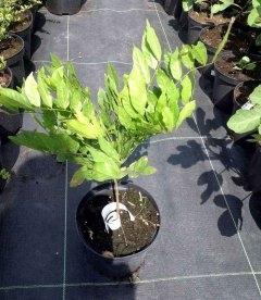 Wisteria sinensis Глициния китайская