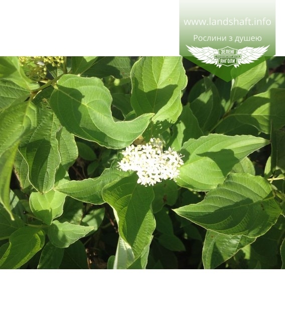 Cornus sericea 'Flaviramea', Дерен шовковистий 'Флавірамеа'
