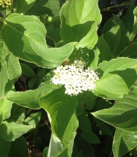 Cornus sericea 'Flaviramea', Дерен отпрысковый 'Флавирамеа'