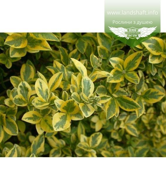 Ligustrum ovalifolium 'Aureum' Бирючина овальнолистная