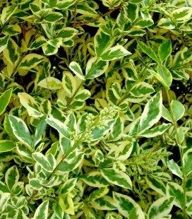 Ligustrum ovalifolium 'Argenteum', Бирючина овальнолистная 'Аргентеум'