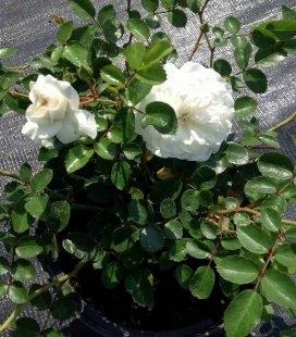 Роза бордюрная 'Fairy'