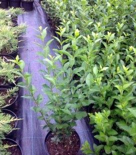 Ligustrum vulgare, Бирючина звичайна