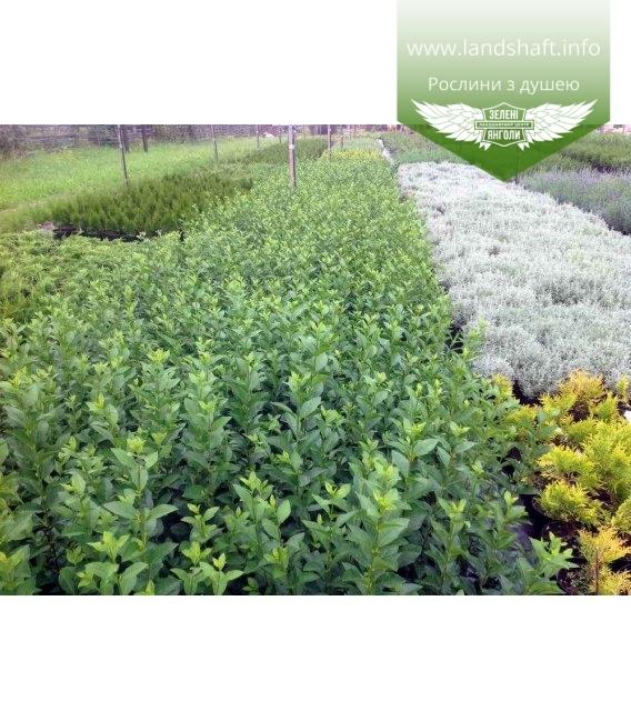 Бирючина (Ligustrum ovalifolium)
