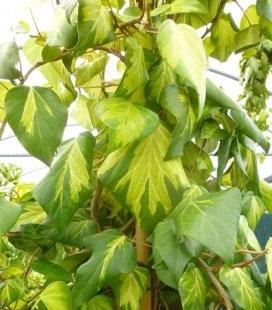 Hedera colchica 'Sulphur Heart' Плющ колхидский