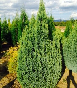 Chamaecyparis lawsoniana 'Ellwood's Gold', Кипарисовик Лавсона 'Елвудс Голд'