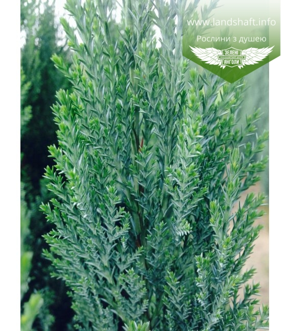 Chamaecyparis lawsoniana 'Ellwoodii', Кипарисовик Лавсона 'Елвуді'