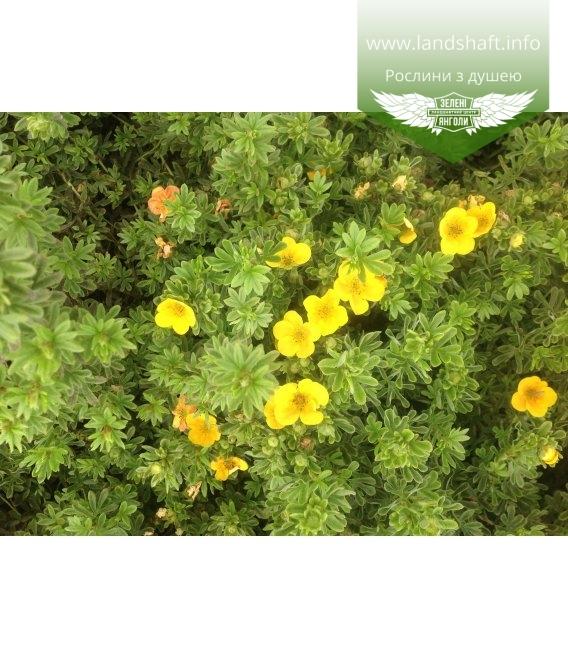 Potentilla fruticosa 'Annette' Лапчатка кустарниковая
