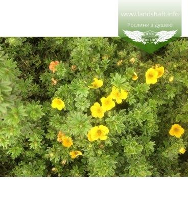 Potentilla fruticosa 'Annette', Лапчатка кущова 'Анетт'