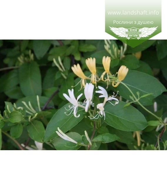 Lonicera japonica 'Halliana', Жимолость японська 'Галіана'