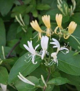 Lonicera japonica 'Halliana', Жимолость японская 'Халиана'