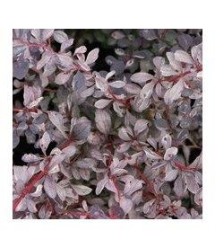 Berberis x ottawensis 'Silver Miles', Барбарис оттавський 'Сілвер Майлз'